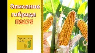 Кукуруза П9175 🌽 - описание гибрида 🌽, семена в Украине