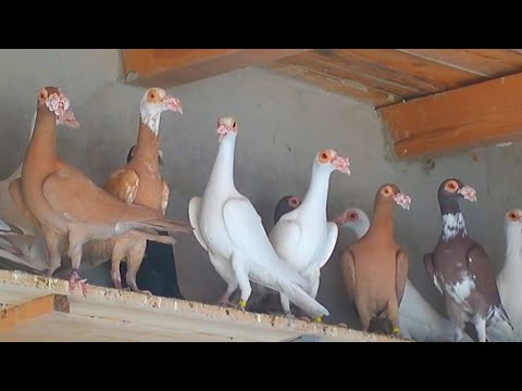 বাগদাদী হোমা কবুতর | King Of Pigeon In The World
