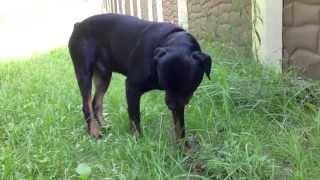 Rottweiler Habits