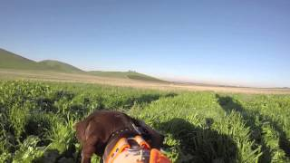Pheasant And Chukar Hunting With German Shorthaired Pointer Missy In California