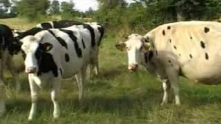 vaches et veaux de Normandie