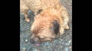 Border Terrier Goes Mountain Biking