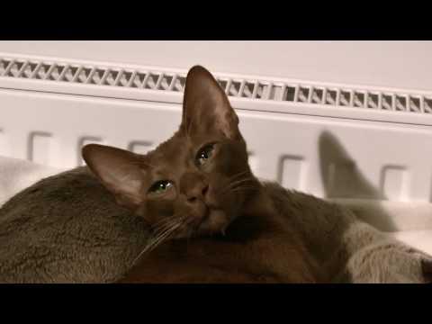 Oriental Shorthair cat sleeping