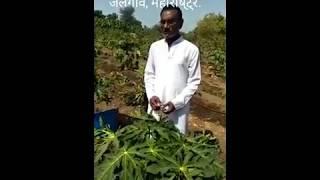 Papaya Ring spot virus and papa Leaf curl Virus, पपीत फ़सल लीफ कर्ल वायरस कंट्रोल.YK Laboratories