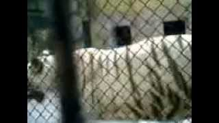 White Tigers --A Colour Variation,Alipore Zoo,Kolkata,India