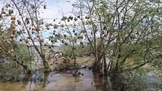 The Sound of Vitelline Masked Weaver in Lake Victoria , Uganda