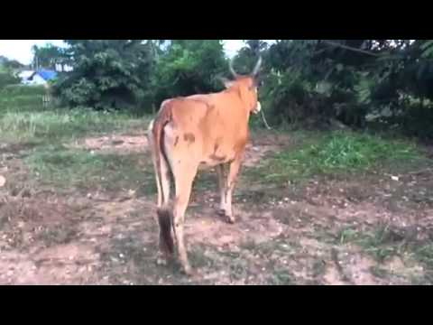 how to get a cow