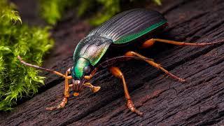 Картинка насекомое. Слизнееды, Очень красочный жук-карабид из саванновых лесов Натитингу, Африка.