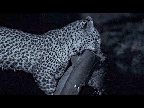 Leopard Family Hunts Catfish at Night  | BBC Earth