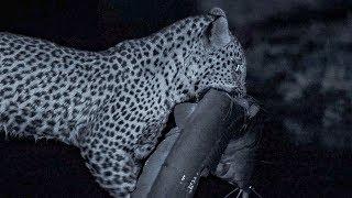 Leopard Family Hunts Catfish at Night  | BBC Earth thumbnail