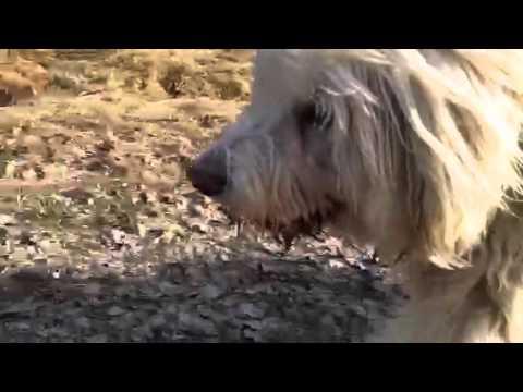 Dog running beside wheel Chair - Rufus Romanian Sheep Dog