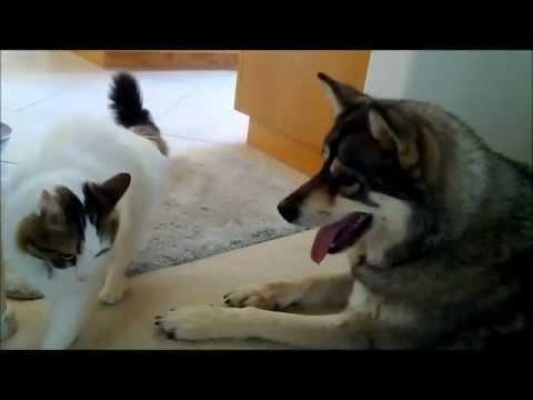 Siberian Husky and Cat rough housing