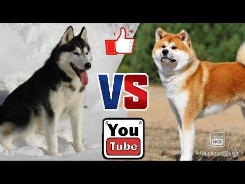 Сибирский хаски против Акита-ину. Siberian Husky Against Akita-inu.