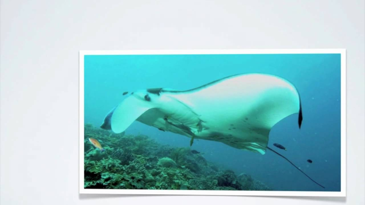Facts About Manta Rays Youtube