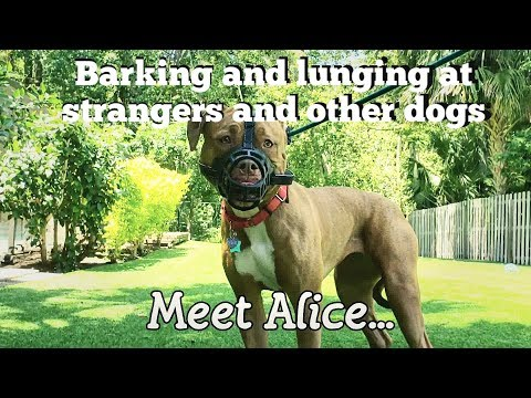 meet-alice:-aggressive-barking,-growling,-lunging-at-guests-&-dogs-rehabilitation