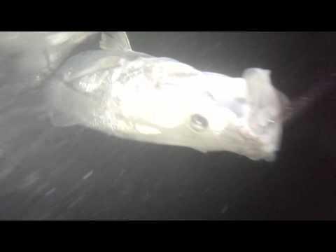 Deepwater Winter Snook Fishing in Stuart, FL
