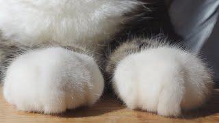 肉まんな前足のねこ。-Meat buns and Maru's paws.-