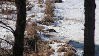Otters Playing January 2017 MN