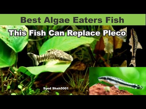 Otocinclus Best Algae Eater Fish - This Fish Can Replace Pleco Fish In Aquarium