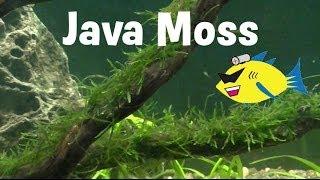Java Moss Aquarium Plant Profile