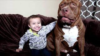 5 реально гигантских собак! – Самые большие собаки в мире
