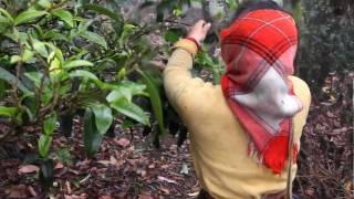 China Cha Dao: Trip to Yunnan, Nan Nuo Mountain. 4 (Picking Tea Leaves)