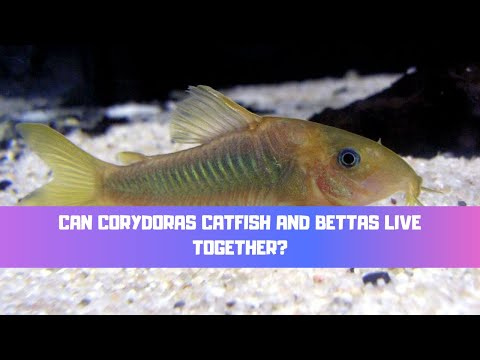 Can Corydoras Catfish And Bettas Live Together? (A Bettas Perfect Tank Mate?)