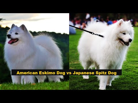 American Eskimo Dog Vs Japanese Spitz