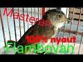 Flamboyan Gacor Masteran Kacer Murai  Mp3 - Mp4 Download