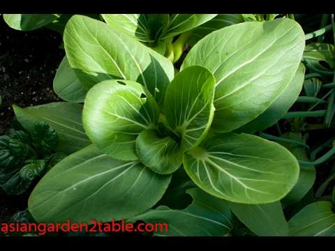 Introduce Bok Choy and how to grow them