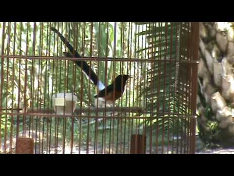 Murai Batu (Shama) Vs Wild Shama (Video 03)