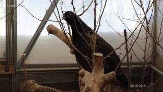 Кто получится если скрестить фазана и курицу. (Chicken-pheasant hybrids)