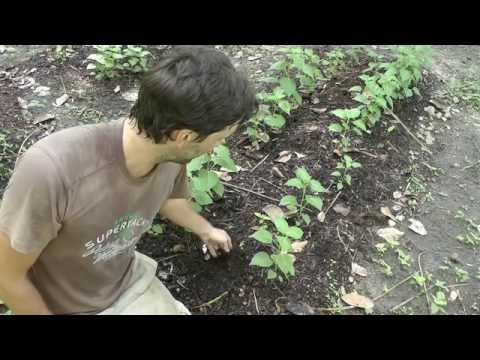 Soil food web, No dig gardening, No till farming, Mulching, Living mulch, Back to Eden method