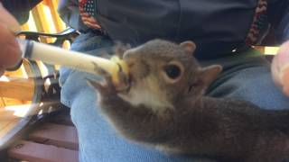 Squirrel Rescue Being Fed - Orphans Eat. Wonderful!