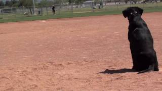 Labrador Retriever Training Baseball Thunder 100