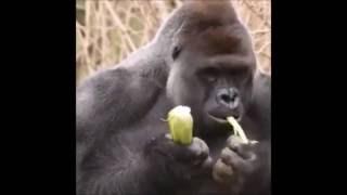 KILLING HARAMBE, Was It Necessary? Gorilla Killed After Child Falls Into Zoo Enclosure (NEW VIDEO)