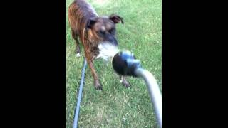 Dog goes crazy for water hose!!!