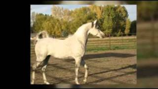 Arabian Stallion At Stud - Montana - #245