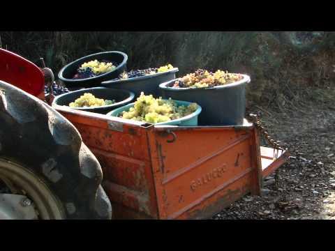colheita uva fabricação vinho vilarinho azenhas 3