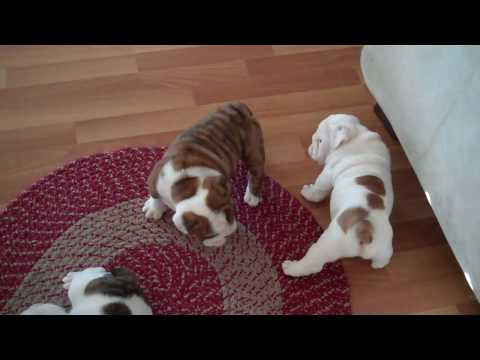 English Bulldogs 6 Weeks Old