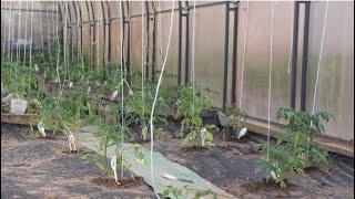 В 10 раз больше томатов и в 20 раз меньше мороки при такой посадке! Посадка томатов.