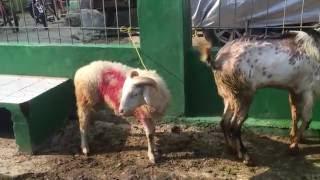 Download lagu Tampang sedih kambing dan sapi yang sebentar lagi mau di potong Qurban