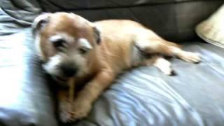 Border Terrier Toby