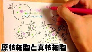 高校 生物基礎 原核細胞と真核細胞