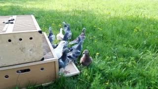Gołębie Pocztowe-pierwszy trening