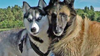 Siberian Husky Best Friend Tervuren  Lihkku & Eddy Summer 2015