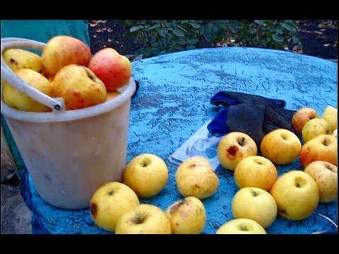 Осенняя ОБРЕЗКА СТАРОЙ ЯБЛОНИ СНЕЖНЫЙ КАЛЬВИЛЬ. Поздние яблоки