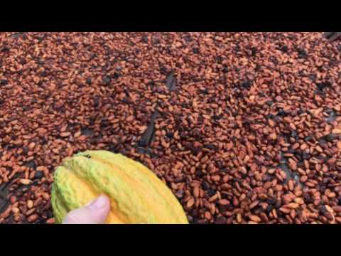 Visiting a Western Africa Cocoa Farm in Ghana