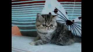 Купить котенка экзота: www.colorolla.ru