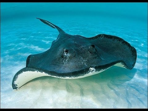 Butterfly on The Sea - Stingray Ocean Explorer and Facts - YouTube